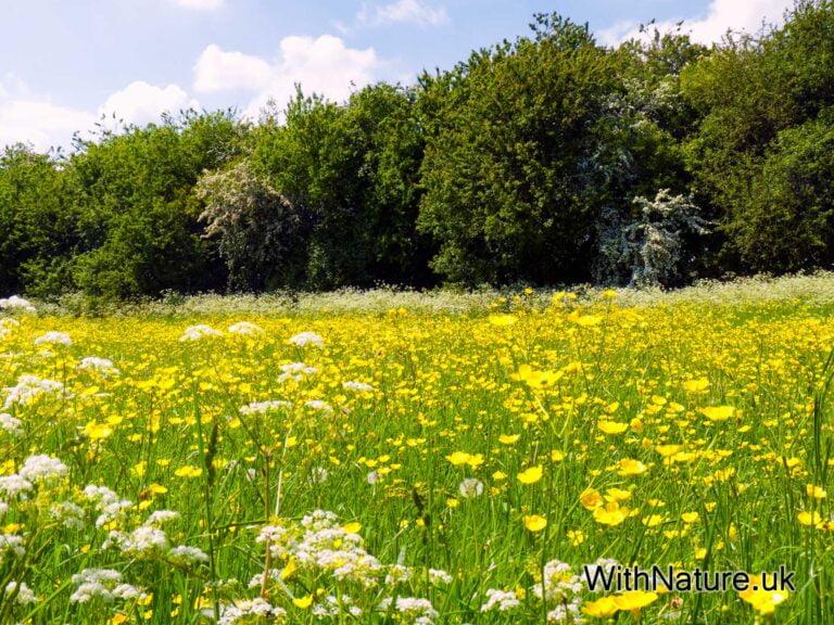 Buttercup Meadow, Bierton, England