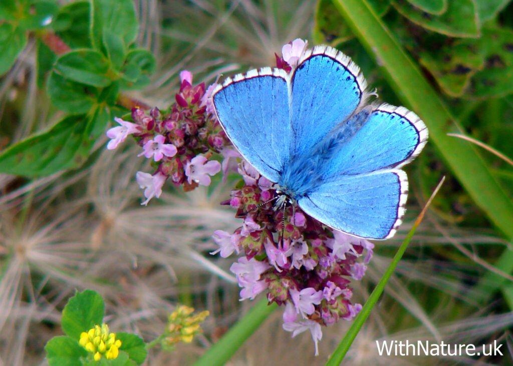 Adonis Blue Butterfly, Ballard Down, Dorset