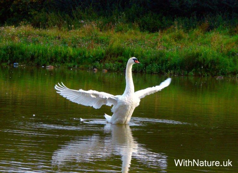 Mute Swan, Aylesbury Vale, England