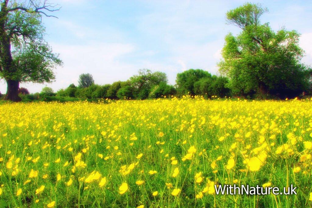 Spring Buttercups Meadow, Buckinghamshire