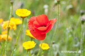 Delicate Red Poppy