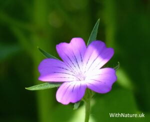 Purple Wildflower