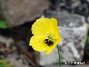 Bee on a Yellow Poppy