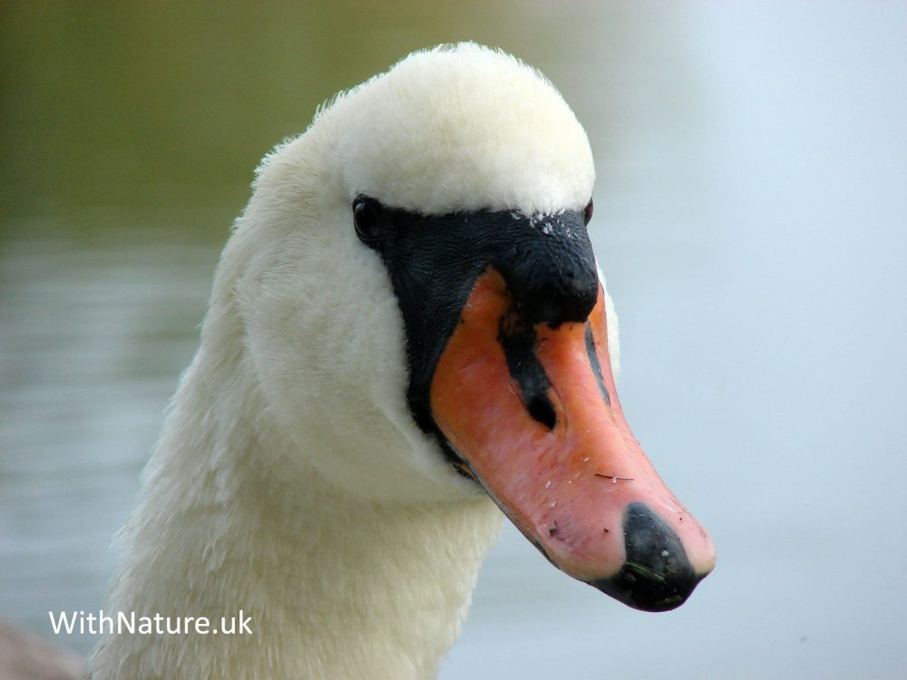 Swan in local park