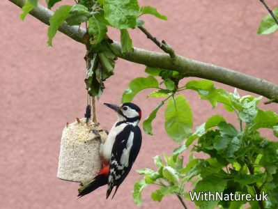 A Woodpecker on my garden feeder