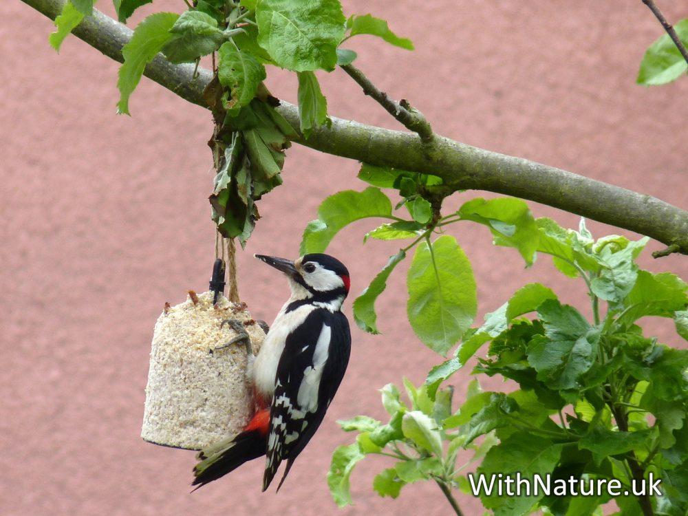 A Woodpecker on my garden feeder