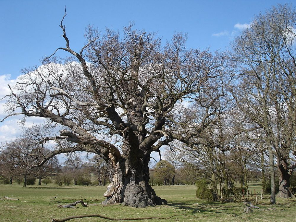 Oak tree in Windsor Great Park
