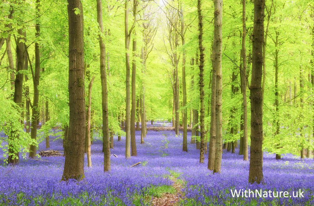 Bluebells, Dockey Wood.