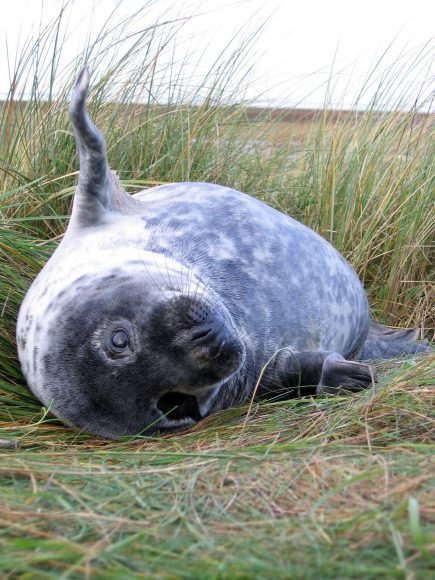 Seal at Donna Nook, Lincolnshire